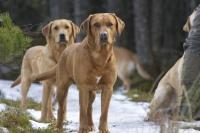 Fox Red Labrador training Scotland 2013