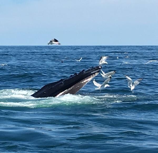 whale watching at Stellwagen Bank