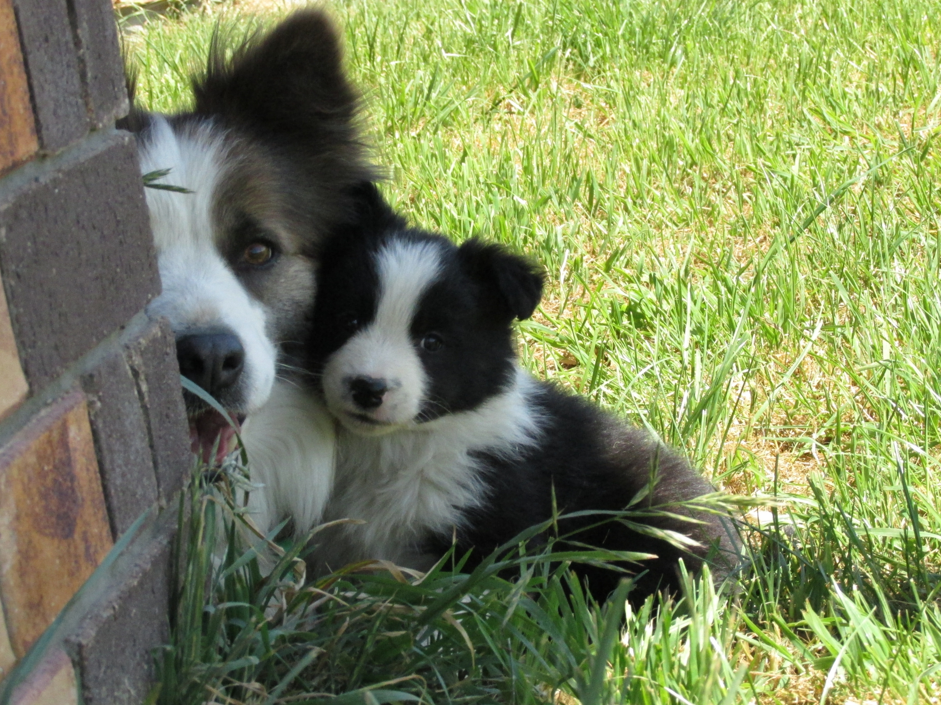 Border Collie dad with pup - Eyreview Retreat