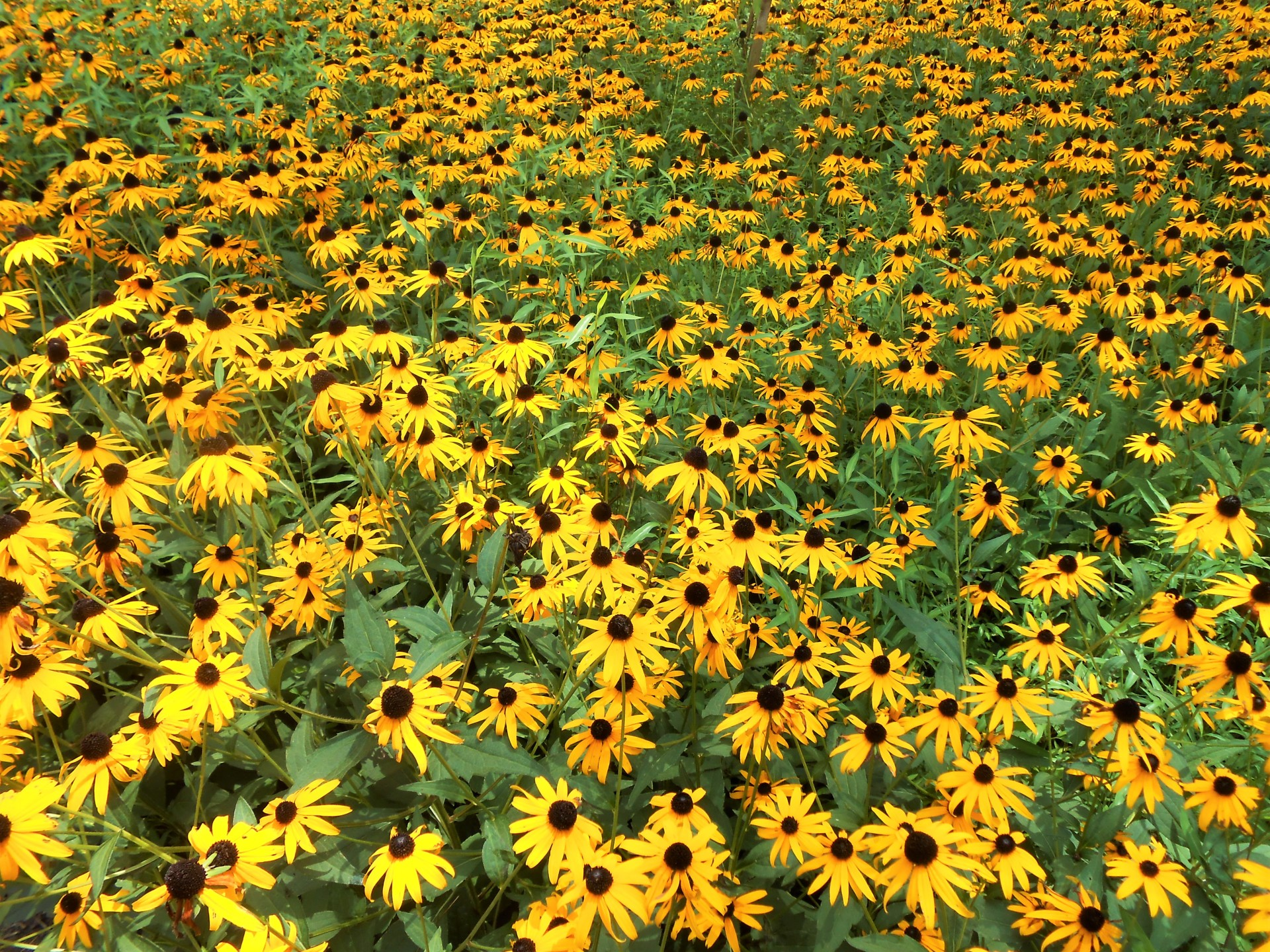 flowers, field of flowers