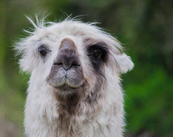 Larry the Lama