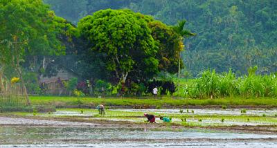 rice planting philippines