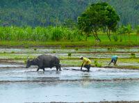 archaic rice planting