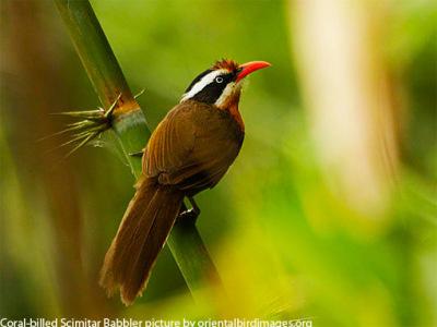 native Thai birds
