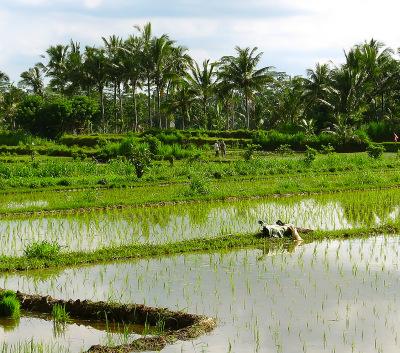 bali rice