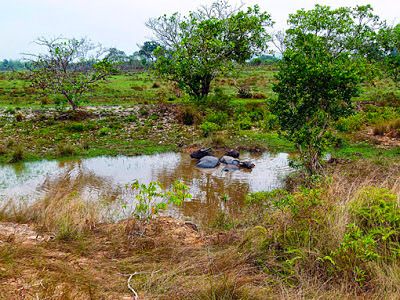 cambodian water buffalo