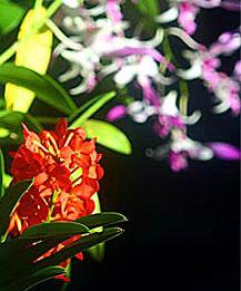 Phuket Orchids