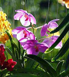 Phuket Orchids 1