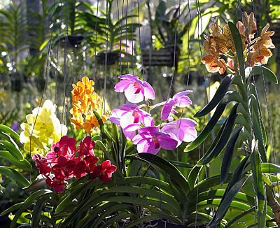 Thai Orchids to make you happy