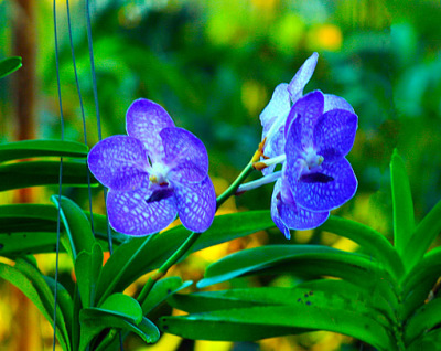 fascinating blue orchids