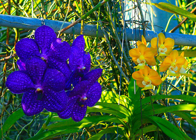 orchid flowers with strong colors