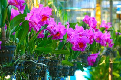 amazing cattleya orchid