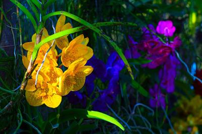 attractive yellow vanda for sale