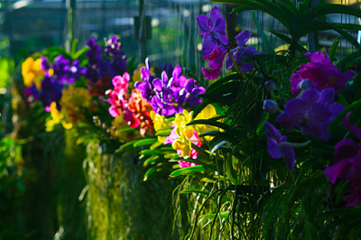 in the orchid nursery
