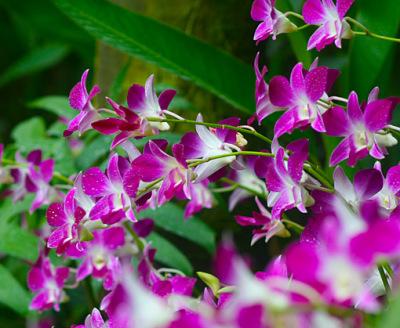 beautiful dendrobium plant