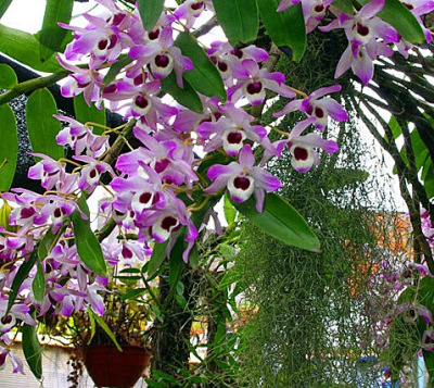 Dendrobium Nobile growing in the pot