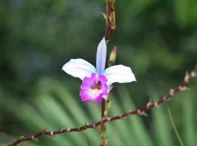 Lovely Cattleya