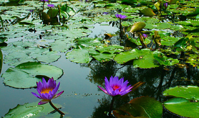 water lilies photo art