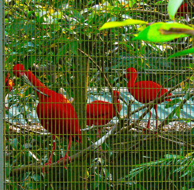 big red birds in the aviary
