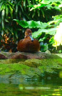 Duck in Jurong Bird Park