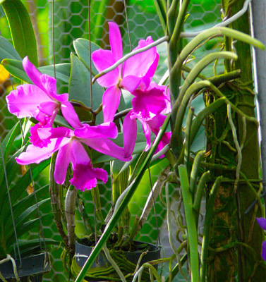 exotic cattleya orchids
