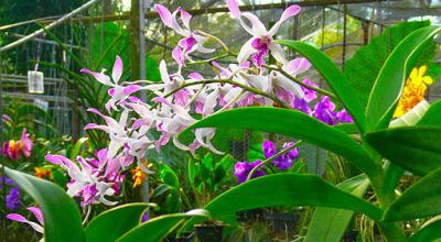 In a Thai hybrid flower nursery