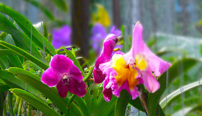 pink and purple orchid picture