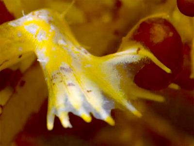 sargassum fish (03)