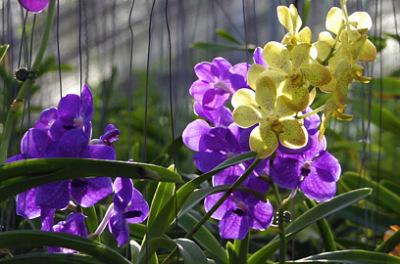 vanda orchid nursery