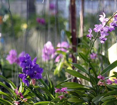 orchid nursery (3)