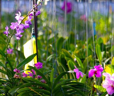orchid nursery (5)