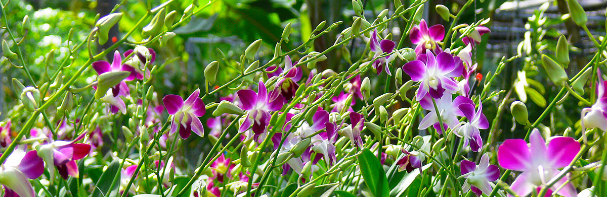 dendrobium orchid flowers