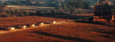 Oxcarts in Bagan