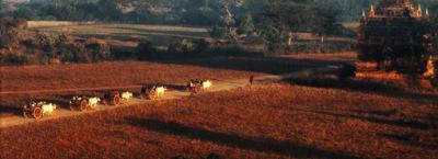 Oxcarts in Bagan