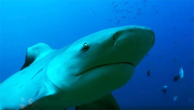 south sea shark