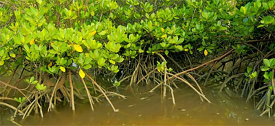 mangroves protect the islands