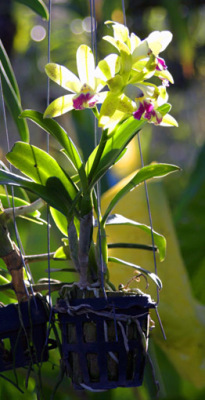 Thai orchids at a housefront in Ao Nang.jpg
