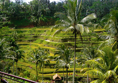 terraced rice fields at ubud