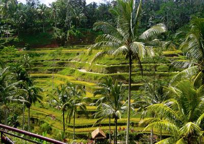 terraced rice fields at ubud
