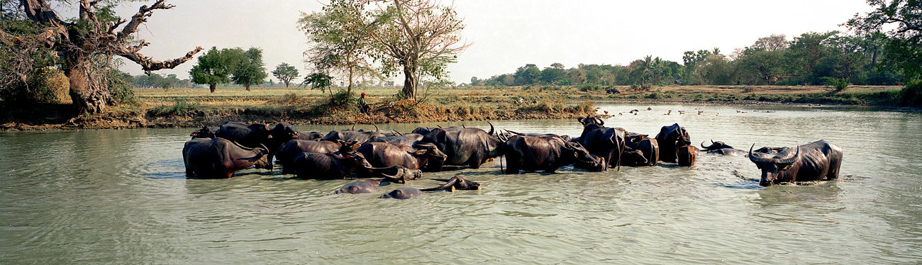 Buffaloes in the Irrawaddy River