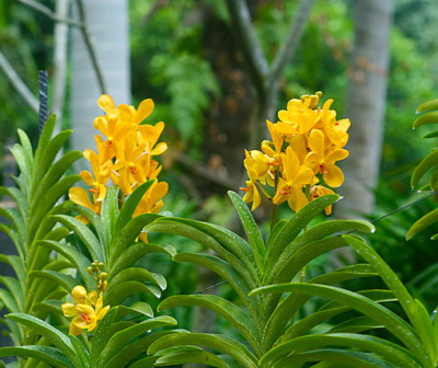 yellow orchid flowers (1)