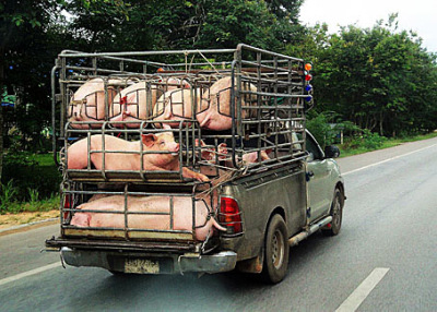 poor pigs in southeast Asia