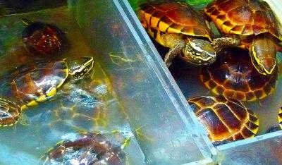 fresh turtle to eat in Bangkok