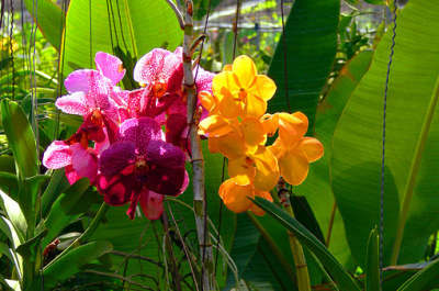 red vanda orchid