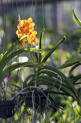 orange color orchid