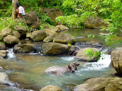 Philippine Buffalo