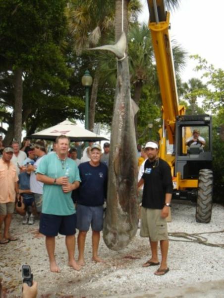 Tournament Winning Tiger Shark