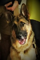 centurion k9 ptsd service dogs rescue dog