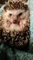 Content Hedgehog