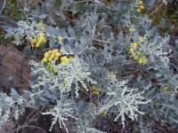 Acacia Purple Feather